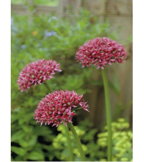 Allium Mercurius
