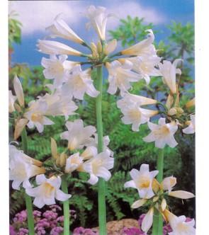 Amaryllis Belladonna Bianco