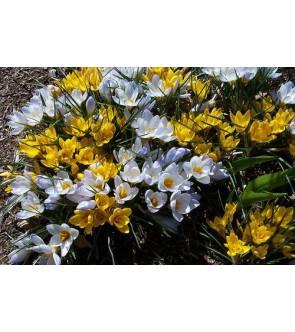Crocus chrysanthus in...