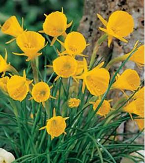 Narciso bulbocodium Golden...