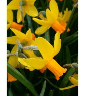 Narciso cyclamineus Itzim