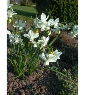 Narciso triandrus Petrel