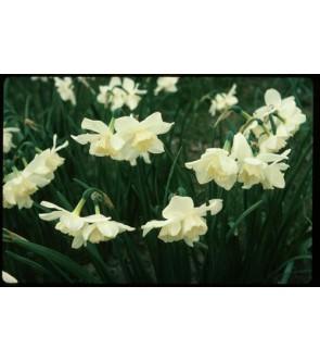 Narciso triandrus Tresamble