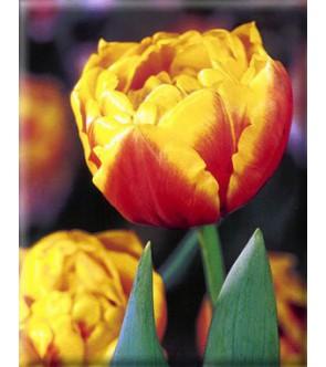 Tulipano doppio Bonanza