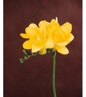 Fresie doppie gialle Corona