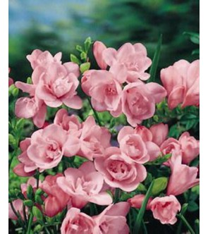 Fresie doppie rosa Elan