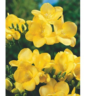 Fresie semplici gialle...