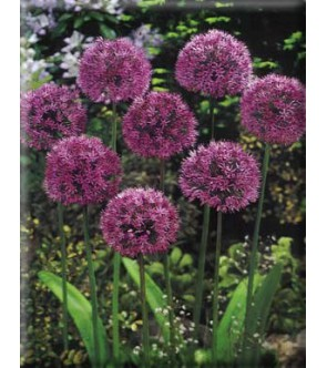 Allium aflatunense Purple...