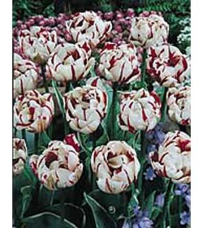 Tulipano doppio Carnaval de...