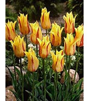 Tulipano fior di giglio...