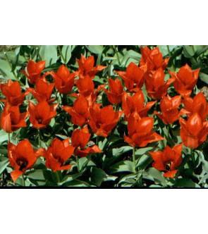 Tulipano eichleri
