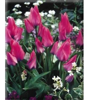 Tulipano multiflora Toronto